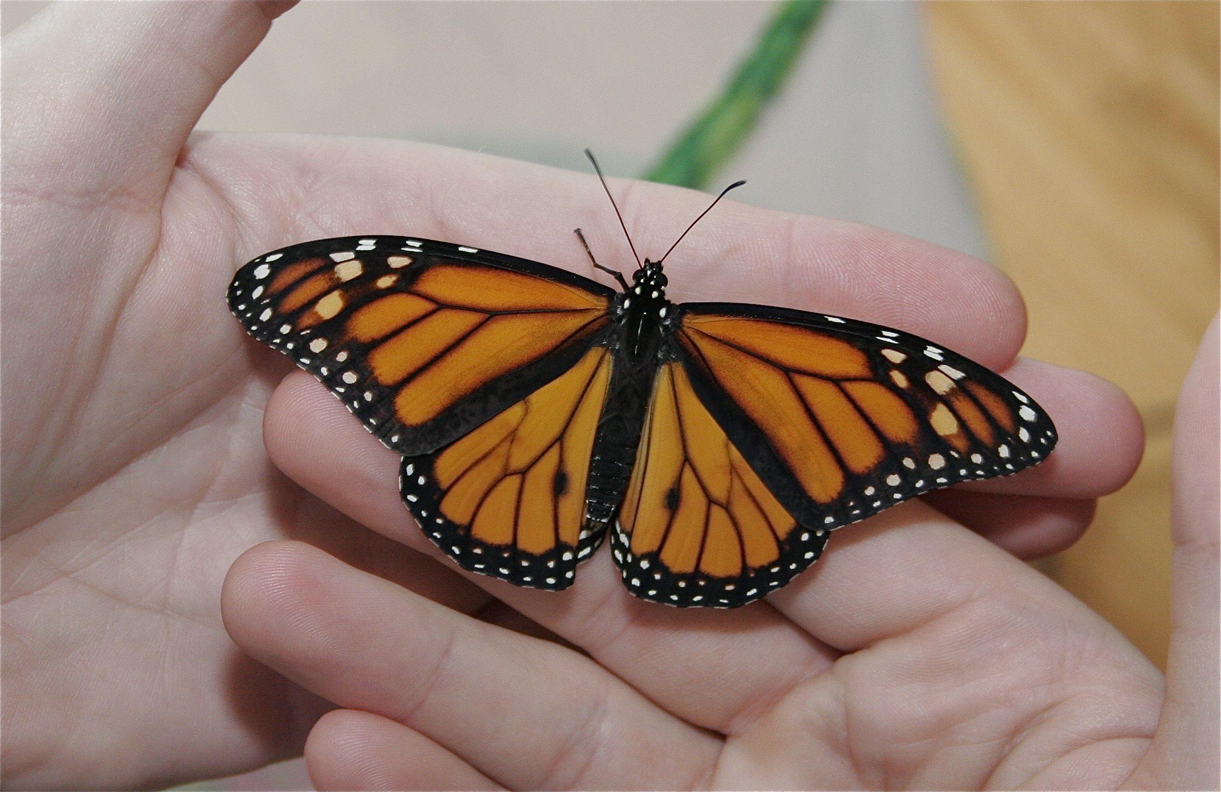 It's Monarch Butterfly Time!!!