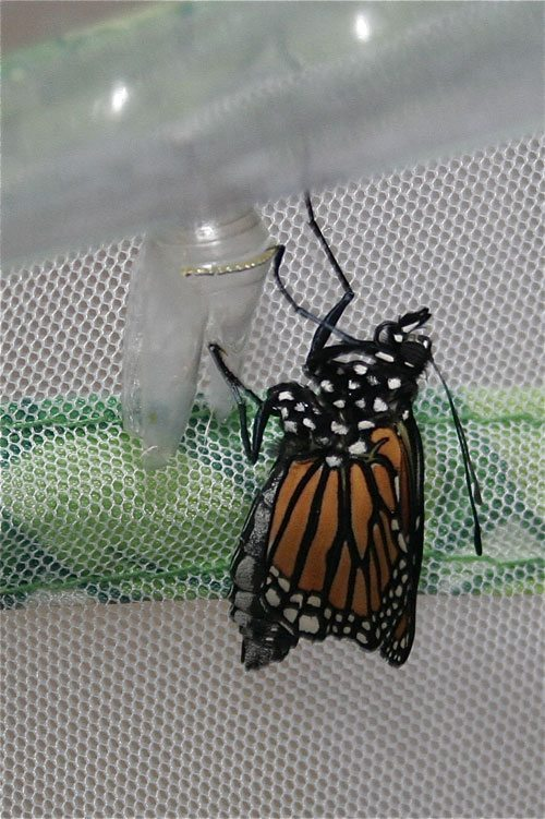 Read a first-hand account of the plight of the Monarch Butterfly